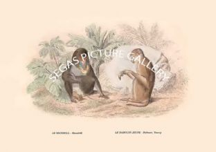 LE MANDRILL - Mandrill , LE BABOUIN JEUNE - Baboon, Young